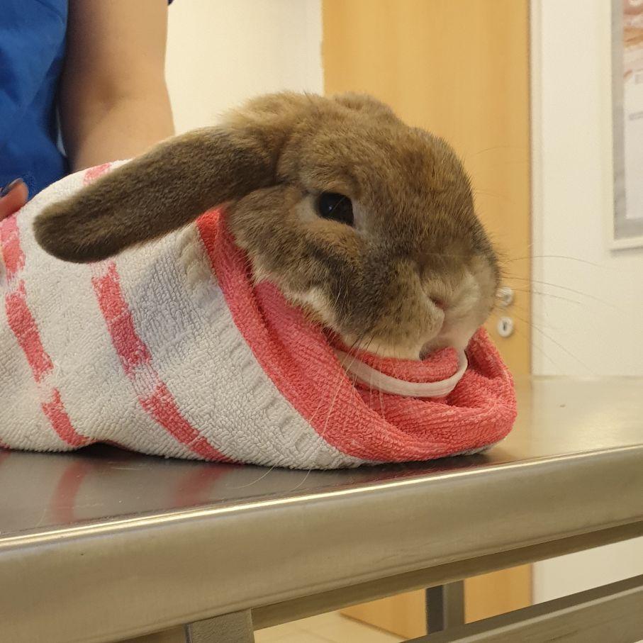 DTR bunny - A nyuszik ápolása - Nyulak ivartalanítása
